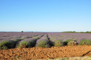 La lavande dans les Alpes de Haute-Provence