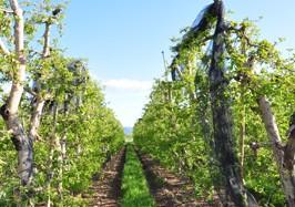 Pommes Alpes de Haute-Durance