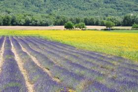 Lavande, emblème de la Provence