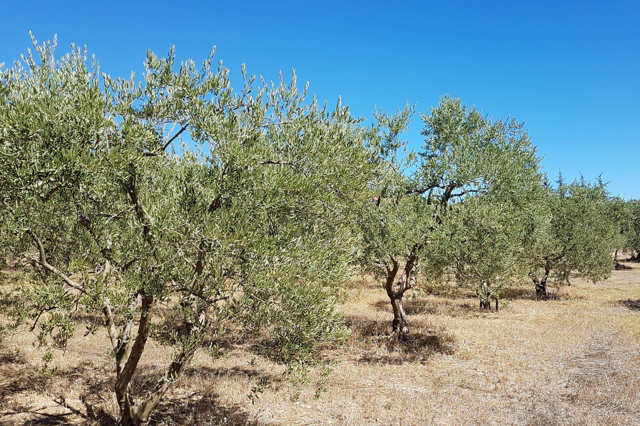 Huile d 39 olive alpes de haute provence tourisme - Office du tourisme allos alpes de haute provence ...