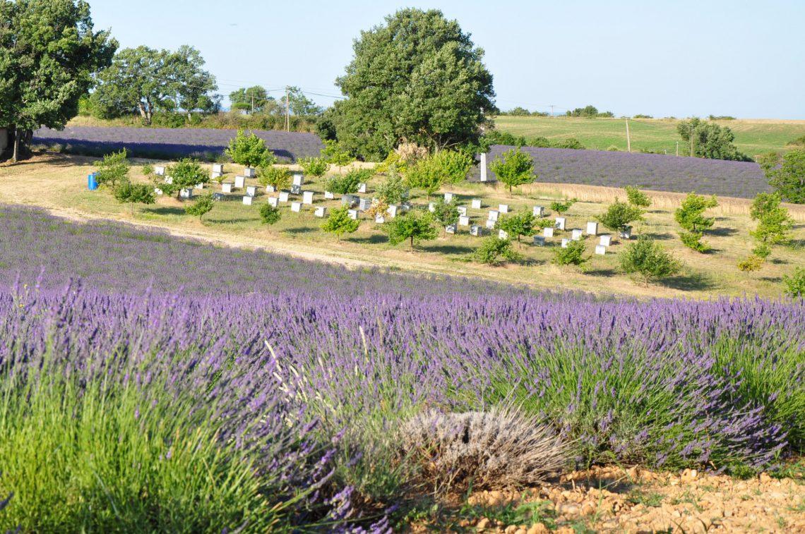 ruches près d'un champ de lavande