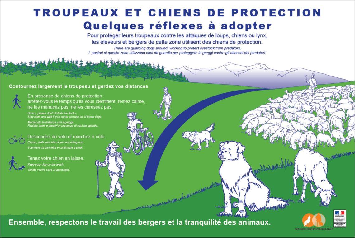 Comportement à tenir face aux chiens de protection des troupeaux en alpage