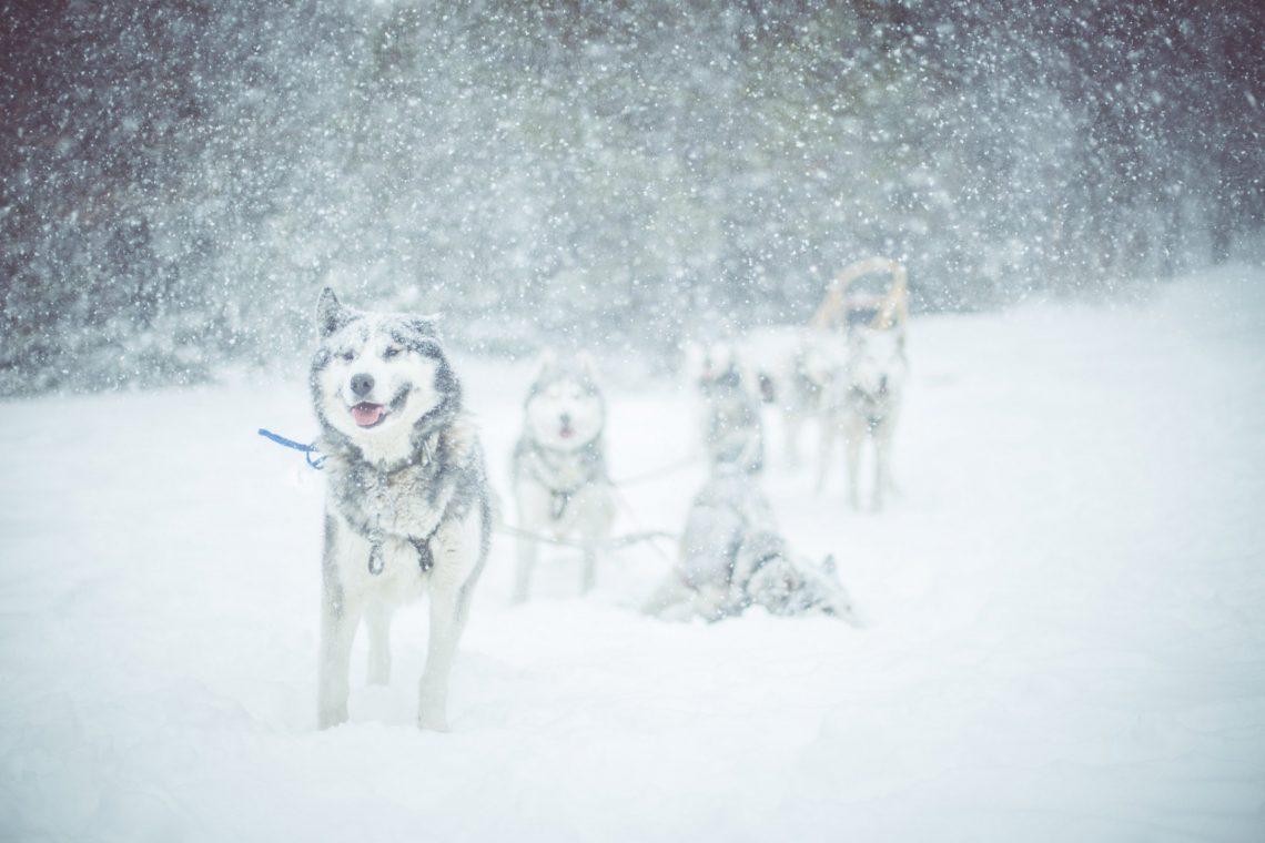 chiens de traineaux ©Théo Giacometti