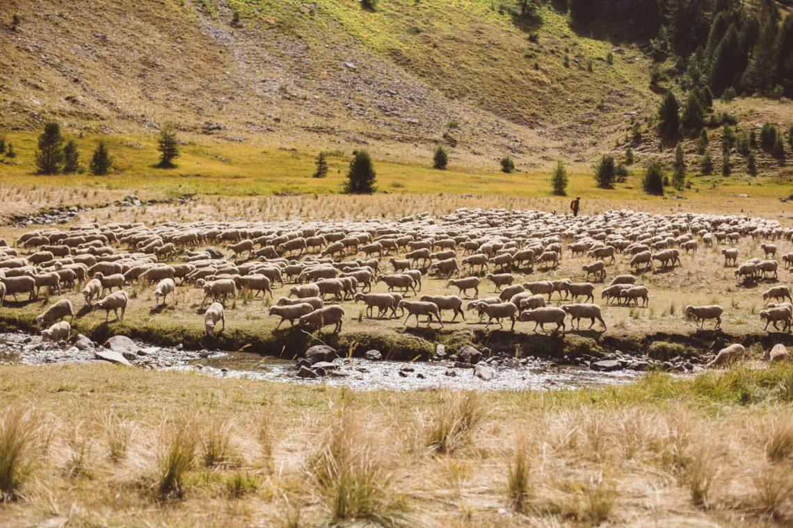 pastoralisme moutons dans le Lauzanier (Ubaye) ©Théo Giacometti