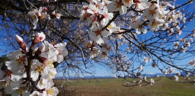 amandier en fleurs ©ADT04/Gbe