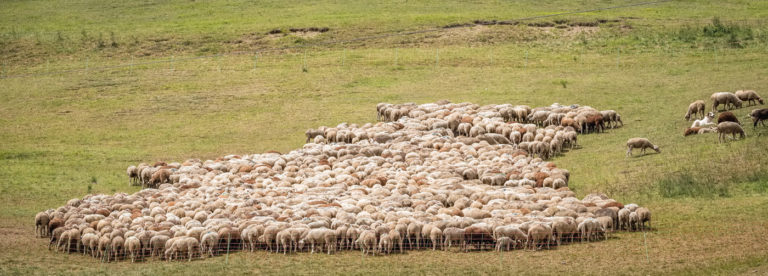 transhumance sur La Routo ©AD04/ Teddy Verneuil