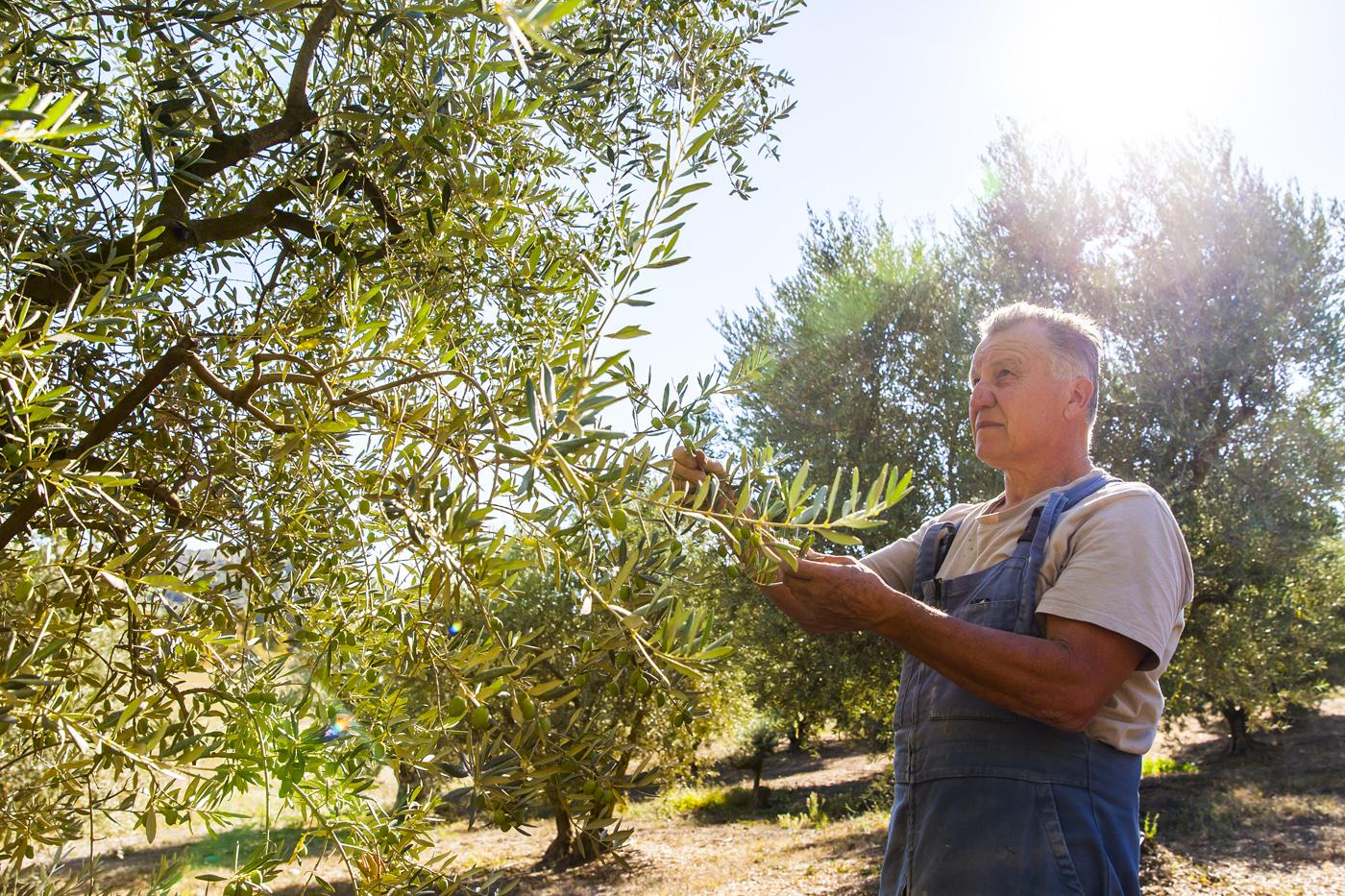 Récolte des olives ©AD04/Thibaut Vergoz
