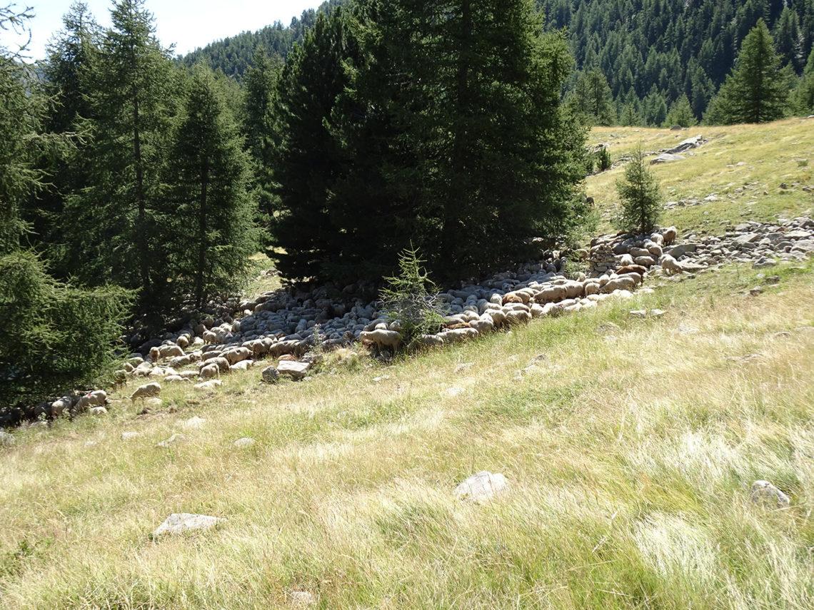 Troupeau de moutons pastoralisme Haut Verdon