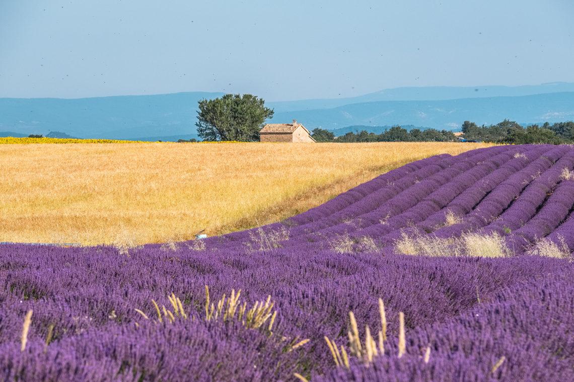 Lavande et blé sur le plateau de Valensole ©AD04-Teddy Verneuil