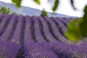 Champs de lavandes en Vallée du Jabron ©AD04-Thibaut Vergoz