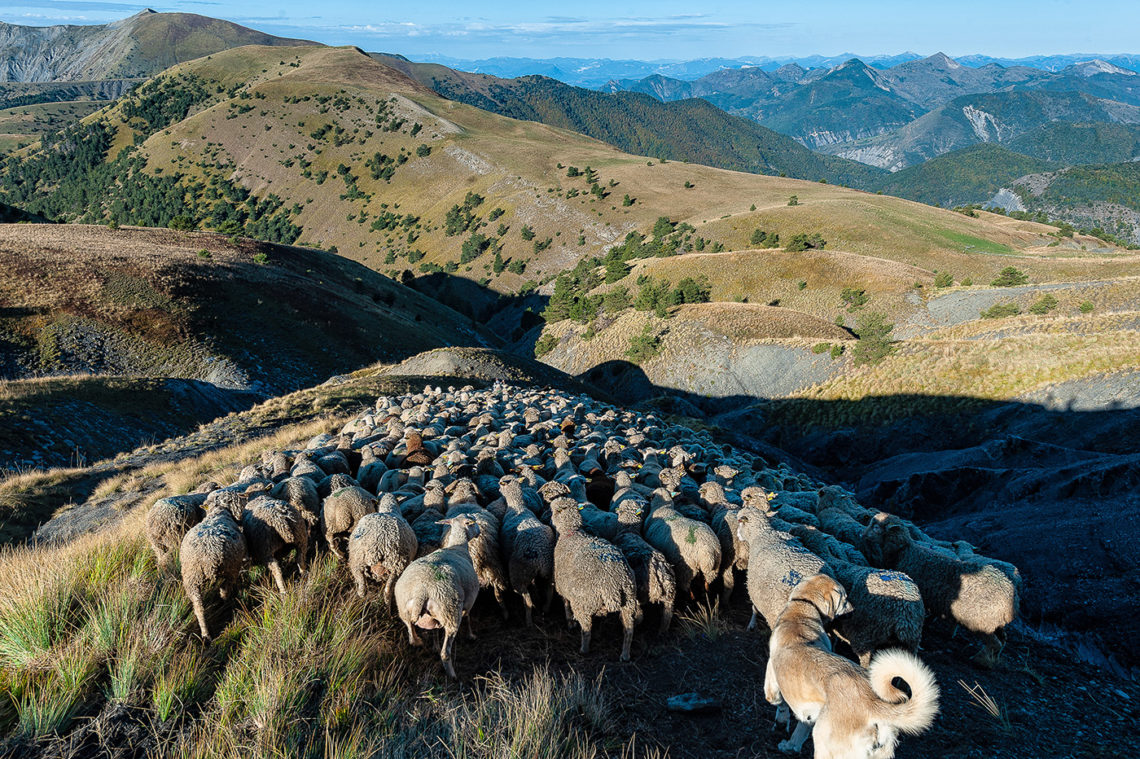 pastoralisme vers Auzet massif des Monges ©AD04-Raoul Getraud