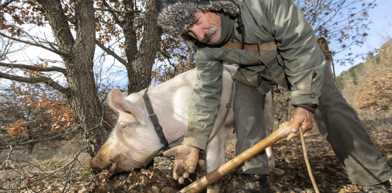 Cavage de la truffe au cochon ©AD04-Thibaut Vergoz