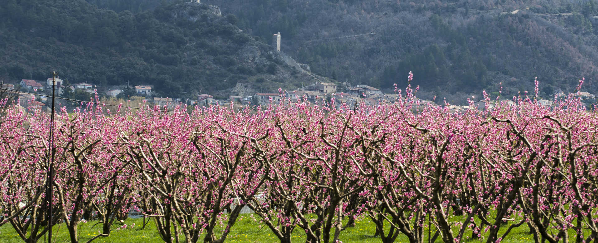 abricotiers à Volonne ©AD04-Thibaut Vergoz