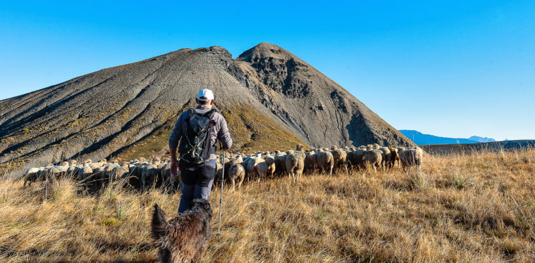 Moutons transhumance ©AD04-Raoul Getraud
